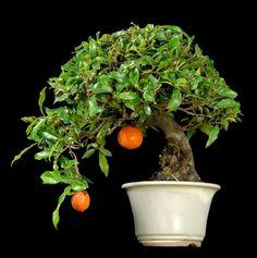 Persimmon evergreen bonsai