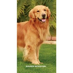 I love my golden retrievers