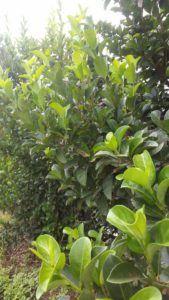 Sweet vburnum (Viburnum sinensis) - Life is a Garden Hedging Plants, Shrubs, Kempton Park, Garden Hedges, Garden Pavilion, Paradise Garden, How To Attract Birds, Red Berries, Cool Plants