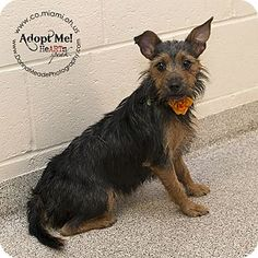 Troy, OH - Terrier (Unknown Type, Small) Mix. Meet Ruby, a dog for adoption. http://www.adoptapet.com/pet/16481236-troy-ohio-terrier-unknown-type-small-mix