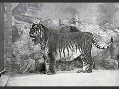 Kaspische tijger +/- 1980