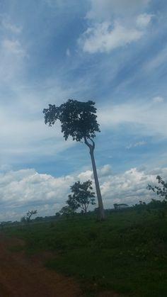 Um pé de Castanha do Brasil, Rondônia, Brasil