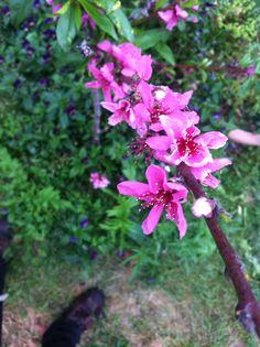 Nectarine blossoms Blossoms, Garden, Plants, Flowers, Garten, Lawn And Garden, Gardens, Plant, Gardening