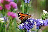 Schmetterling auf Strandfliederblüten im Garten