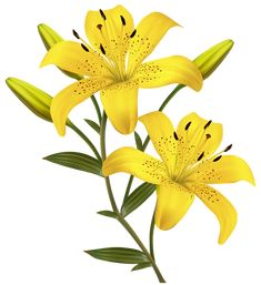 Yellow Lilies PNG Clipart Image