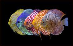 Variety of 5 Discus Discus, Freshwater Aquarium, Fish Art, Animals Beautiful, Fit, Cutest Animals, Shape