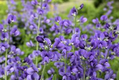 I want you to know that the herbs with purple flowers are not limited to the ones mentioned in this article. There are some others like gentian, purple calla Lilly, larkspur, and much Tulips Flowers, Lavender Flowers, Purple Flowers, Baptisia Australis, Wild Indigo, Sage Herb, Calla Lillies, Growing Herbs, Small Gardens