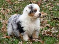 Australian Shepherd - im obsessed with this kind of dog!! <3