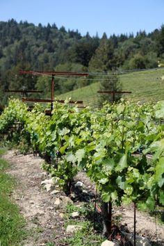 Vines at Silver Tip in the Santa Cruz Mountains.