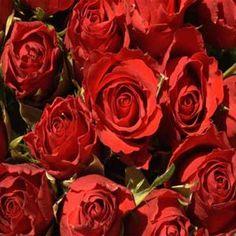 Fotos de Rosas Vermelhas