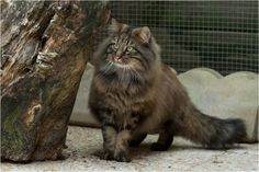 Elevage de chats des forets norvegiennes - Chatons norvégiens en aquitaine - skogkatt - norwegian forest cats breeding in France - proche de Dax et Bayonne