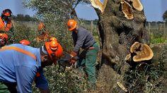 Newsela | Los famosos olivares italianos se están muriendo, infectados por una bacteria letal