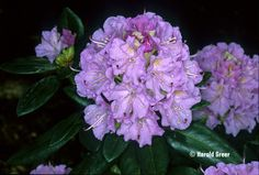 Image result for rhododendron lavender queen