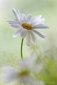 The Daisy-One of my favorite flowers Happy Flowers, My Flower, White Flowers, Beautiful Flowers, April Flower, Beautiful Things, Daisy Love, Daisy Daisy, Belle Photo