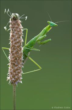 Praying Mantis:  while they are mating, the female praying mantis eats the males head to ensure the eggs receive immediate nutrition
