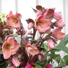 helleborus pink frost | Plant Profile for Helleborus 'HGC Pink Frost' - Gold Collection ...