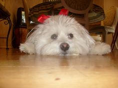 my celebrity dog riley wearing his christmas bow. maltipoo