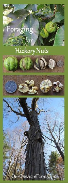 Foraging for Hickory Nuts - ID tips, great photos, how to harvest and shell them.