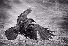 the bird of apocalypse