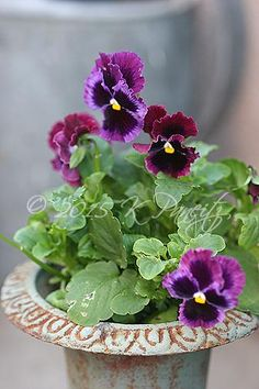 'Frizzle Sizzle' Pansy Urn
