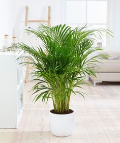 areca palm air purifying house plants clean air plants plants healthy air air purifier houseplants indoor plants plants decor home decor interior style plant corner nordic style scandinavian living vi Indoor Plants Clean Air, Indoor Palms, Air Cleaning Plants, Air Plants, Green Plants, Tropical Plants, Home Air Purifier, Green Bubble, Palm Plant