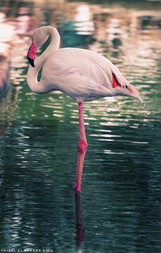 ~Flamingo~ Photo by Faisal Al Nassar