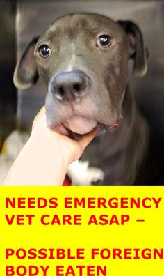 SUPER URGENT Manhattan Center BANIA – A1045956 ***NEEDS EMERGENCY VET CARE ASAP – POSSIBLE FOREIGN BODY*** NEUTERED MALE, GRAY / WHITE, AMERICAN STAFF MIX, 10 mos OWNER SUR – EVALUATE, HOLD FOR ID Reason PET HEALTH Intake condition EXAM REQ Intake Date 07/30/2015 http://nycdogs.urgentpodr.org/bania-a1045956/
