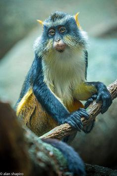 Wolf's Mona Guenon - Photo by Alan Shapiro Photography on Flickr
