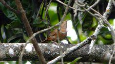 Foto corruíra (Troglodytes musculus) por Marcelo De Barros Pimentel