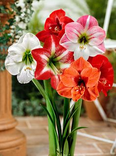 Amaryllis Mixed Collection  Our Amaryllis (Hippeastrum) mixed collection contains five top-quality amaryllis bulbs that will produce large flowers in lovely shades and patterns. The huge, beautiful flowers are a joy to behold and the colours will remain a surprise until the buds open. Great in the vase or in flower arrangements. The amaryllis flowers a few weeks after being potted.