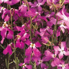 Matthiola Bicornis - Night-scented Stock