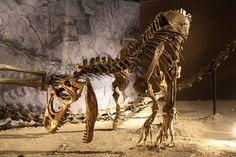 Allosaurus_mount.jpg (1200×800) - Dinosauria, Saurischia, Theropoda, Allosauridae. Auteur : Kabacchi / Flickr.  2009.