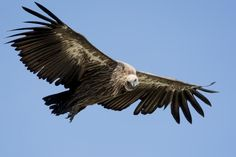 African White-backed Vulture (Gyps africanus) Adult circling over a carcass
