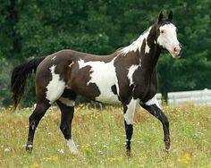 Loud frame sabino Paint gelding, full quarter horse type. photo: Mark Barrett.
