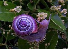 "Beautiful Pictures on Twitter: ""An amazing purple snail  https://t.co/0Cn1iAYguF"""
