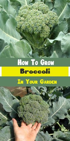 How To Grow Broccoli In Your Garden ...