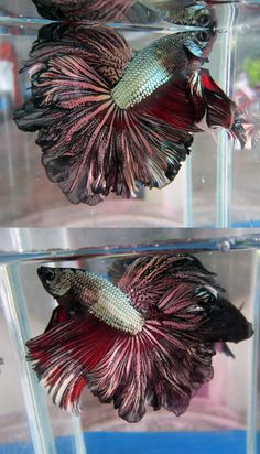 ENLARGE this picture... it's incredible. Copper rosetail betta.