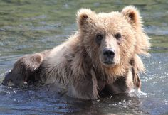 U.S. Fish and Wildlife Service, Open Spaces Blog - berries or salmon?