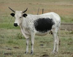 Miniature Breeds Of Cattle That Are Perfect For Small Farms Cow Pictures, Cow Pics, Farm Animals, Animals And Pets, Raising Cattle, Mini Cows, African States, Farm Yard, African Animals
