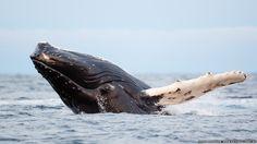 El espectáculo de las ballenas jorobadas en Noruega.