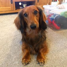 Visit our blog (dachshund-central.com) to find the best products and accessories for hounds and #doglovers. #dachshundcentral #doglover #dachshund #sausagedog #doxie #teckel #weeniedog #dachshunds #sausagedogs #doxies #weeniedogs #repost Dapple Dachshund, Long Haired Dachshund, Dachshund Puppies, Corgi Dog, Miniature Dachshunds, Weenie Dogs, Funny Animals, Dog Lovers, Sausage Dogs