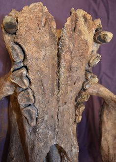 teeth of a fossil skull of a shasta ground sloth nothrotheriops shastensis fossils