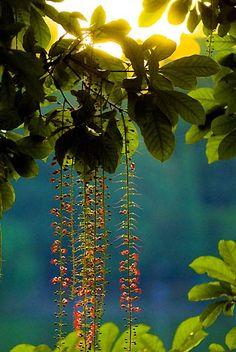 Barringtonia racemosa bloomed - Hoan Kiem Lake - Hanoi