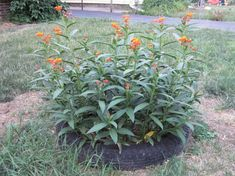 These are 15 plants in roughly a 2 foot diameter plot. I planted them tightly to create a bush type of effect. The blossoms have just started opening in the ...