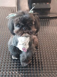 Click visit site and Check out Best Shih Tzu T-shirts. This website is superb. Tip: You can search your name or your favorite shirts at search bar on the top.