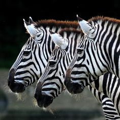 Zebra by Arjan Vennema on Zebras, Beautiful Creatures, Animals Beautiful, Animals And Pets, Cute Animals, Tier Fotos, Mundo Animal, All Gods Creatures, African Animals