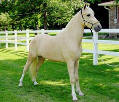 Tennessee Walking Horse gelding, Trigger Lost His Sock.