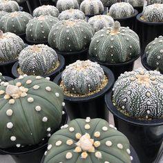 色んな兜たち Astrophytum asterias  #cactus #succulent #Astrophytum #asterias #agave #Variegata #サボテン #多肉植物 #兜