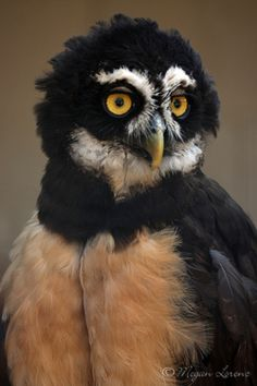 """Spectacled Owl (photos by megan lorenz) """"...Pulsatrix perspicillata, a large tropical owl native to the neotropics. [R]esident breeder in forests from southern Mexico and Trinidad, through Central America, south to southern Brazil, Paraguay and northwestern Argentina. [S]ix subspecies."""" -- Wikipedia https://en.wikipedia.org/wiki/Spectacled_owl"""