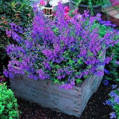 Angelonia -It's easy to grow and flowers profusely (AND IT'S PURPLE!) great plant for our dry spells and heat. Not fussy about soil either. Butterflies love it... Love the box too- pallet project!